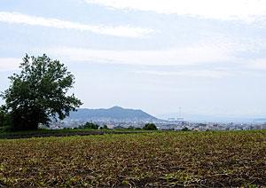 プラタナスの樹